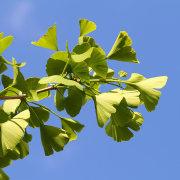 Junger Ginkgozweig, aus: Sommerblumentag