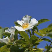 Heckenrosenblüte I, aus: Heckenrosenlandschaft