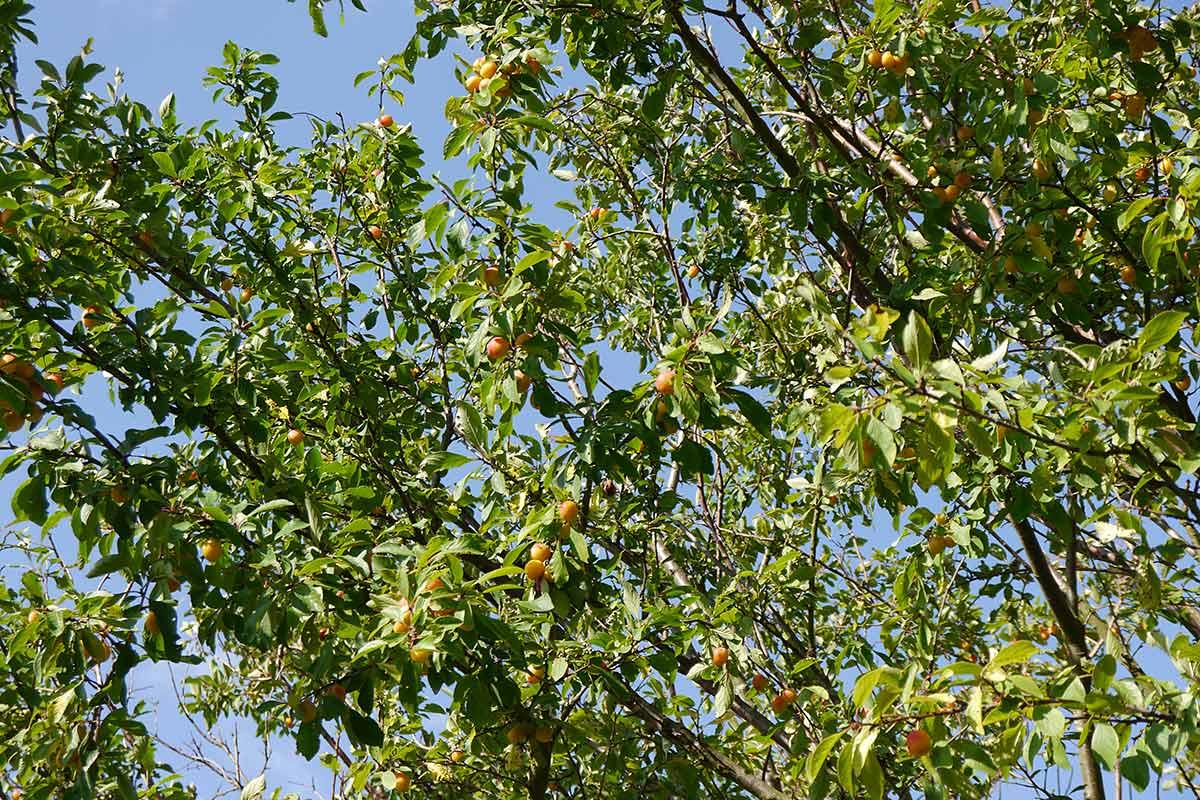 Reife Mirabellen am wildwachsenden Baum