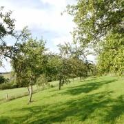 Streuobstwiese mit Mirabellenbäumen, aus: Mirabellen satt