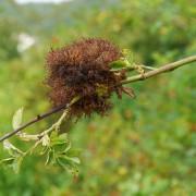 Rosenapfel an Heckenrosenzweig, aus: Schlafapfel in der Sonne