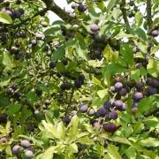 Reifende Früchte des Schlehdorns, aus: Ob die Schlehdornfrüchte wohl erntereif werden?
