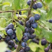 Schwarzdornfrüchte im Spätsommer, aus: Sommer-Herbst der Sträucher