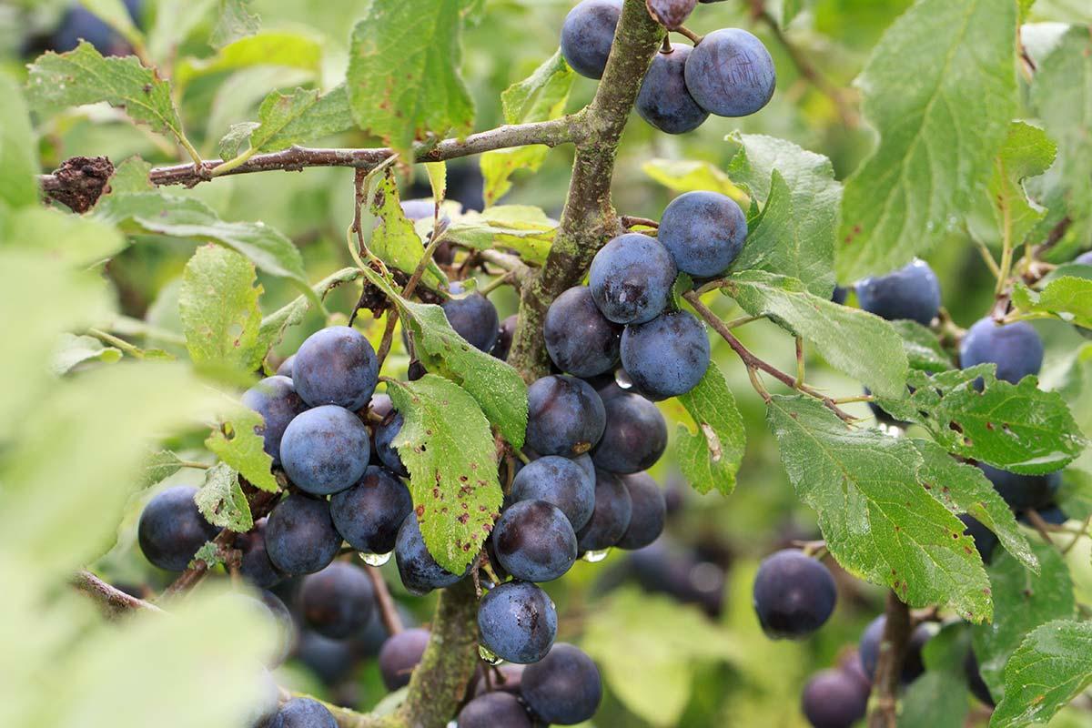 Schwarzdornfrüchte im Spätsommer