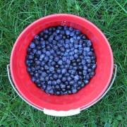 Frisch gepflückte Schlehenfrüchte, aus: Schlehen sammeln