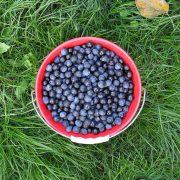 Frisch gepflückte Schlehen, aus: Weintrauben, Viezäpfel, Schlehen