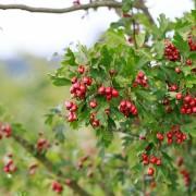 Fruchttragender Weißdorn im Spätsommer, aus: Sommer-Herbst der Sträucher
