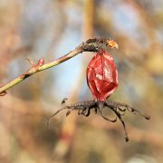 Hagebuttenfrucht im Hochwinter, aus: Baumdetails im Winterlicht