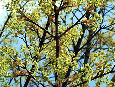 Ahornblühen