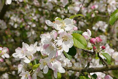 Blüte des Apfelbaums