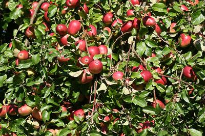 Fruchtreicher Apfelbaum