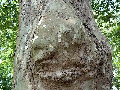 Platanen-Baumwesen