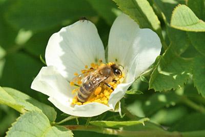 Honigbiene auf Heckenrosenblüte