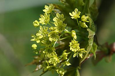 Spitzahorn-Blüte