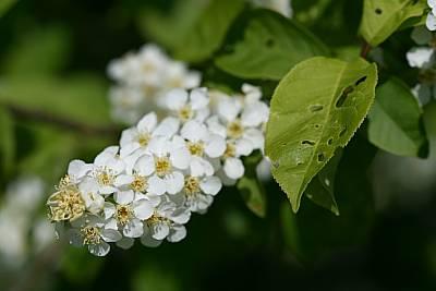 Traubenkirsche-Blüte