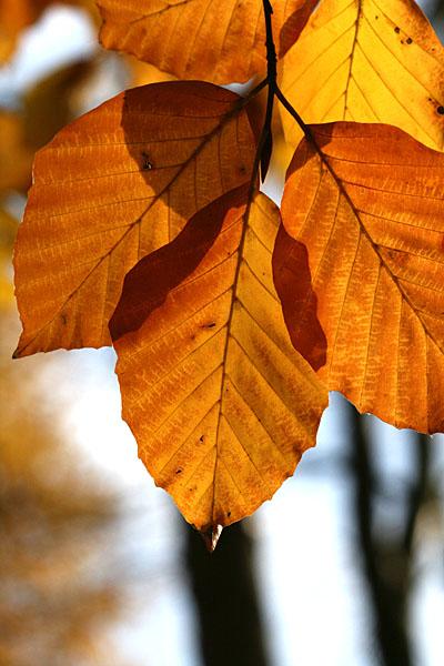 Herbstlicher Buchenzweig