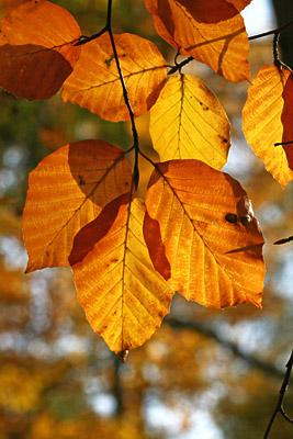 Herbstlaub der Buche