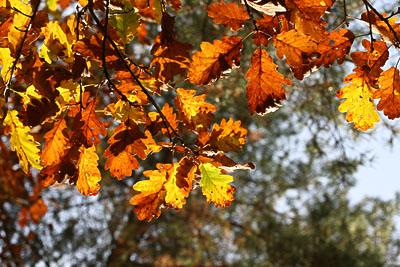 Eiche mit Herbstlaub