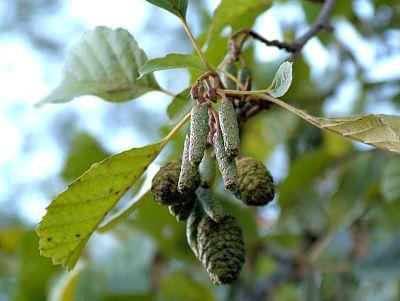 Erlenblüte und -fruchtstand