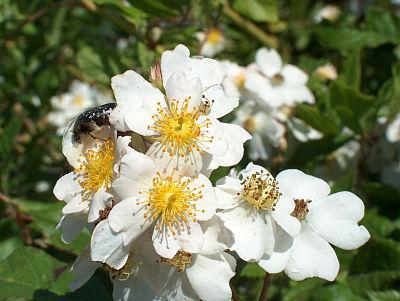 Blüte der Feldrose