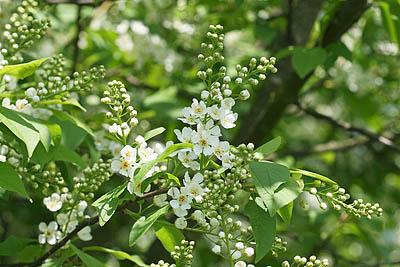 Blüten der Traubenkirsche
