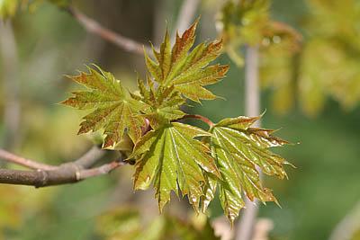 junge Blätter des Spitzahorns