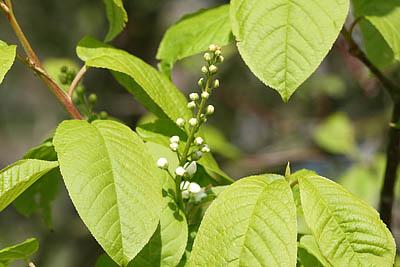 Blüte der Traubenkirsche