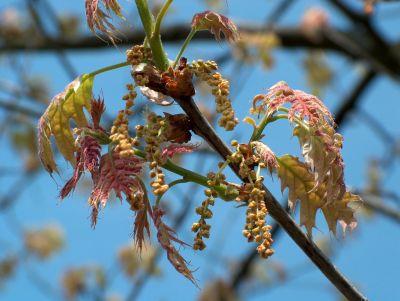 Roteiche-Blüte