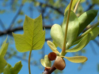 Tulpenbaum-Blätter