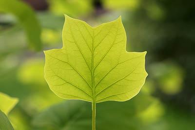 Blätter im Frühlingslicht