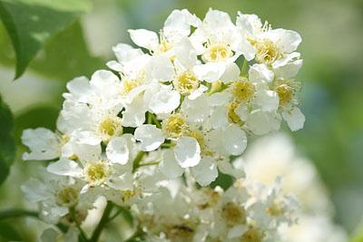 Traubenkirscheblüten