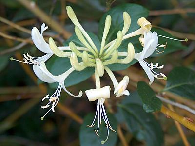 Blüte des Geißblatts