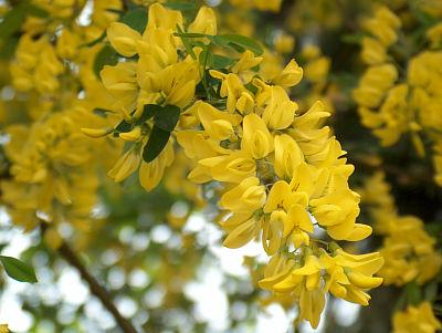 Blüte des Goldregen