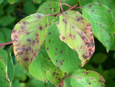 Hartriegel im Herbst