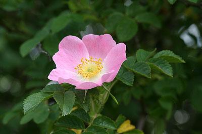 Rosa Heckenrose
