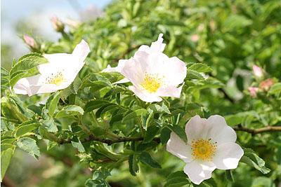 Weiße Heckenrose