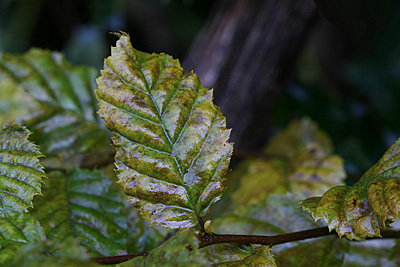 regennasses Herbstblatt