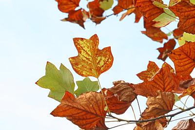 Tulpenbaumblätter im Herbst