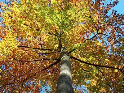 Herbstlaubkrone