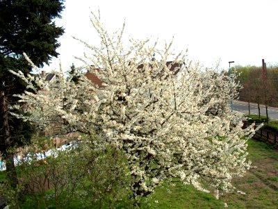 Kirschbaum-Blüte