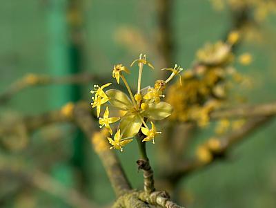 Blüte der Kornelkirsche