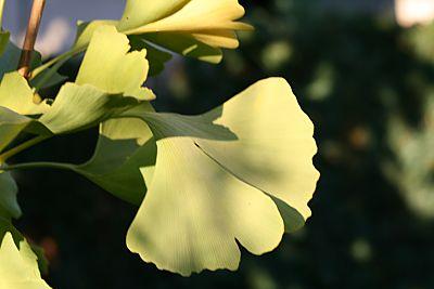 Die letzten Blätter des Ginkgo