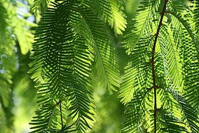 Baumnadeln im Licht