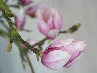 Magnolienblütenwunder