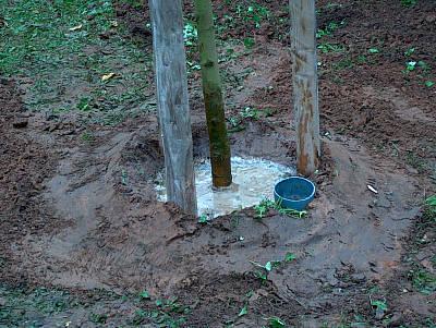 Maulbeerbaumpflanzung