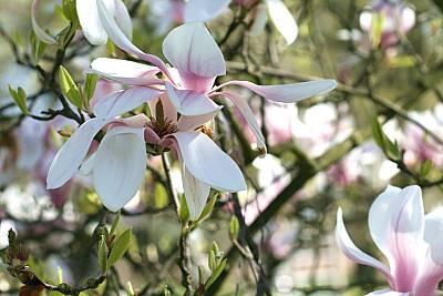 Österliche Magnolienblüte