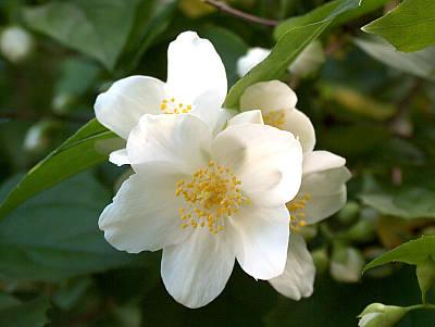 Blüte des Pfeifenstrauchs