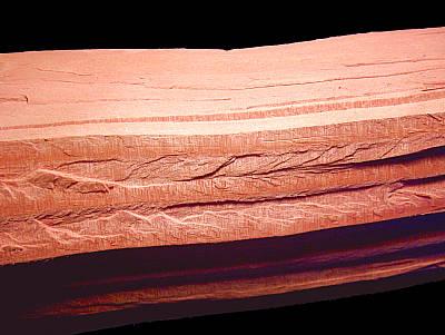 Holz des Riesenmammutbaums
