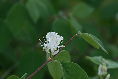 Blüte der Roten Heckenkirsche