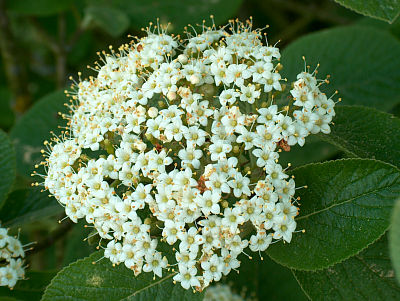 Blüte des Wolligen Schneeball